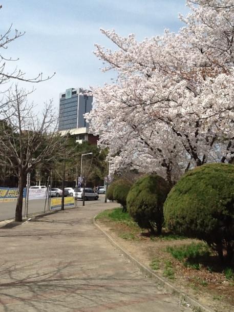 YU Cherry Blossoms